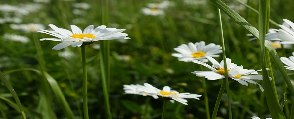 Daisy field in Tsaghkadzor